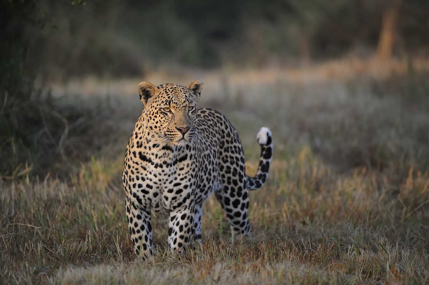 leopard-sabi-sabi-sands-kruger-south-africa-enkosi-africa