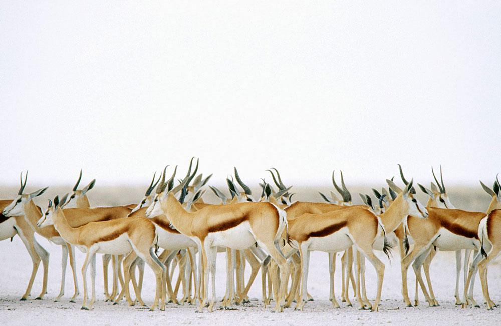 Springboks en el parque nacional de Etosha, Namibia