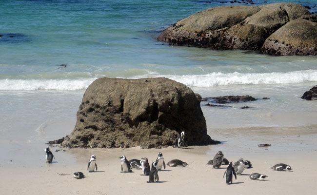 Pingüinos en la playa de Boulders Beach
