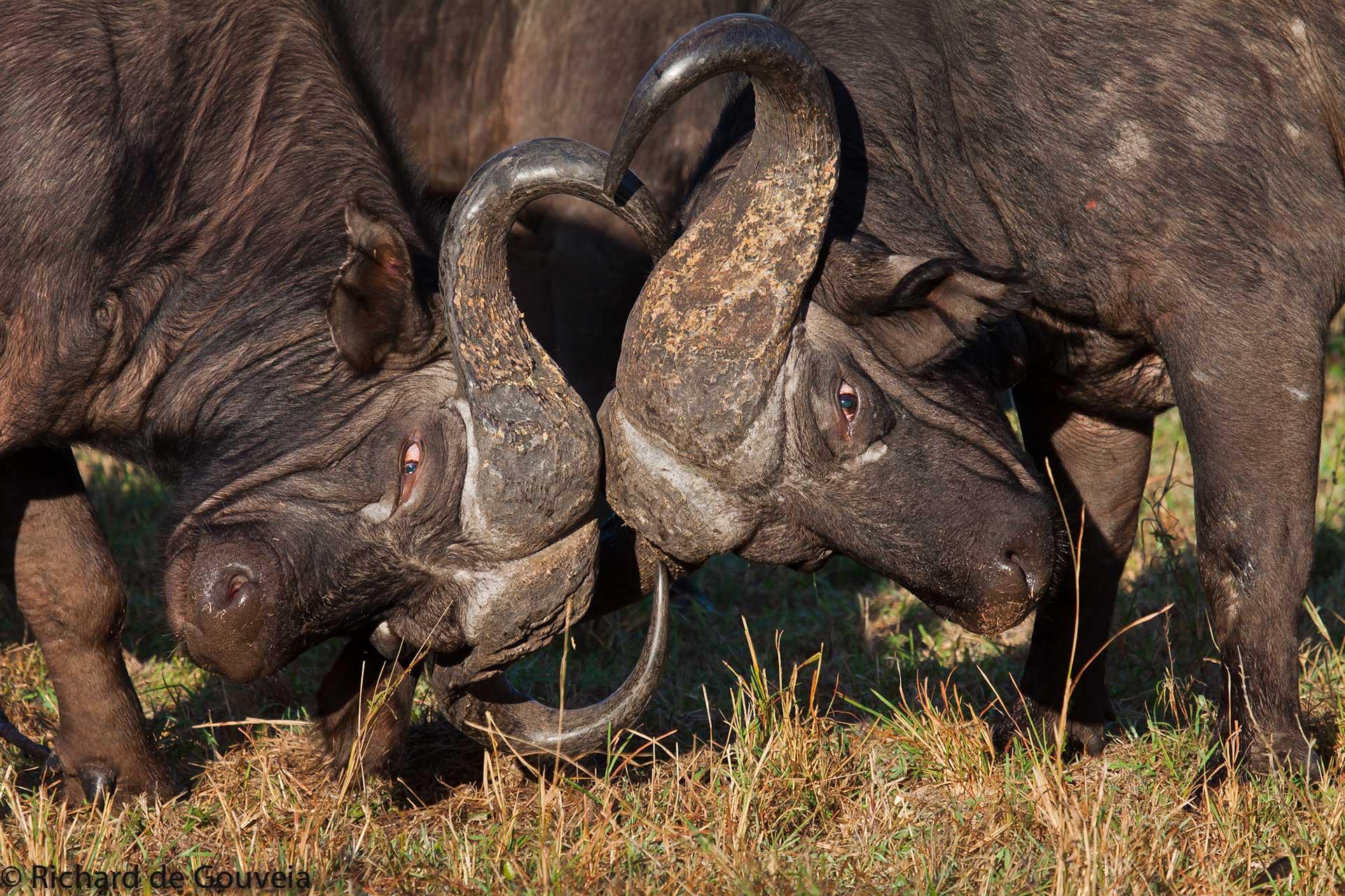 bufalo-sabi-sabi-sabi-sands-sudafrica-buffalo-big 5-enkosi-africa-safari