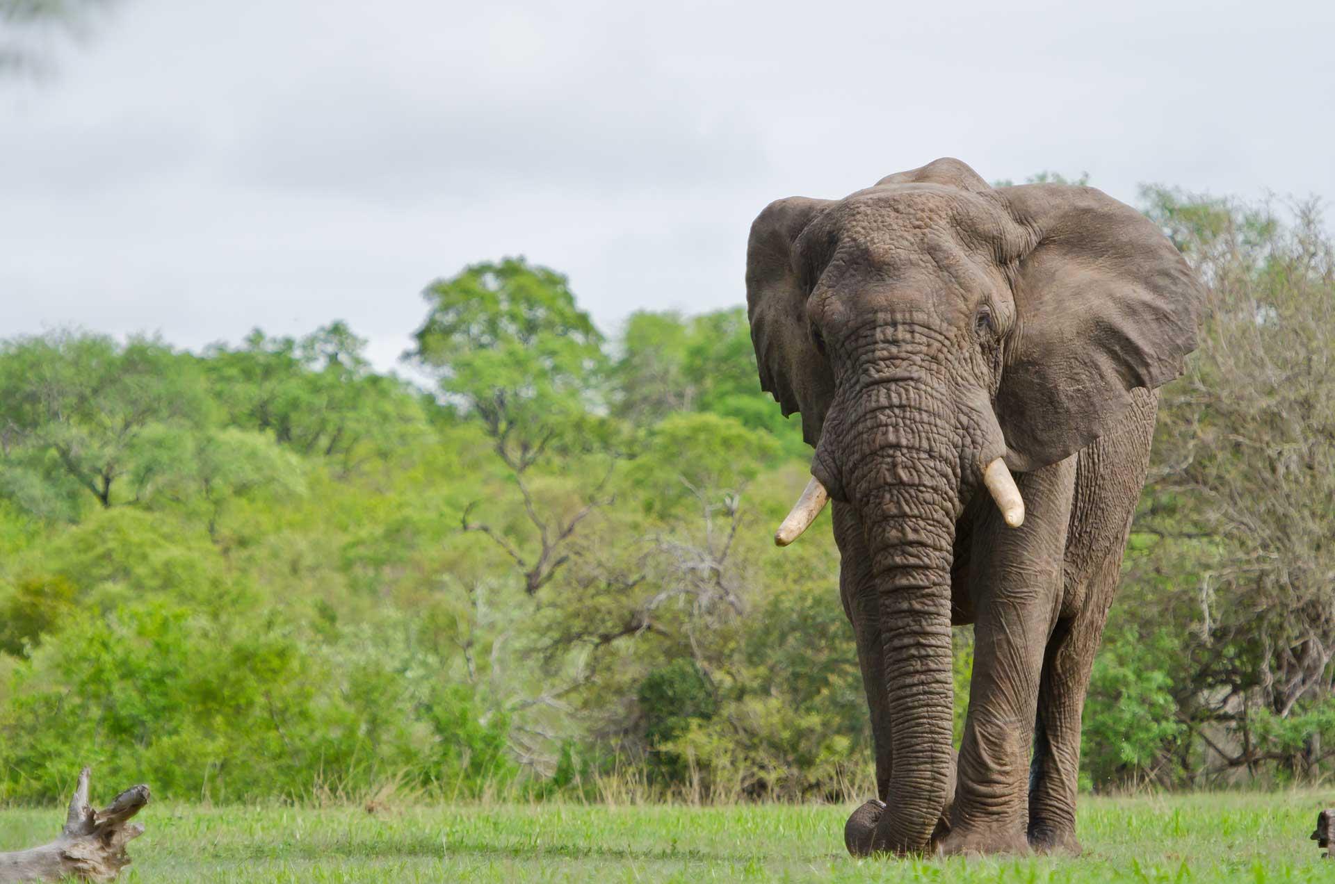 elefante-sabi-sabi-sabi-sands-sudafrica-elephant-big 5-enkosi-africa-safari