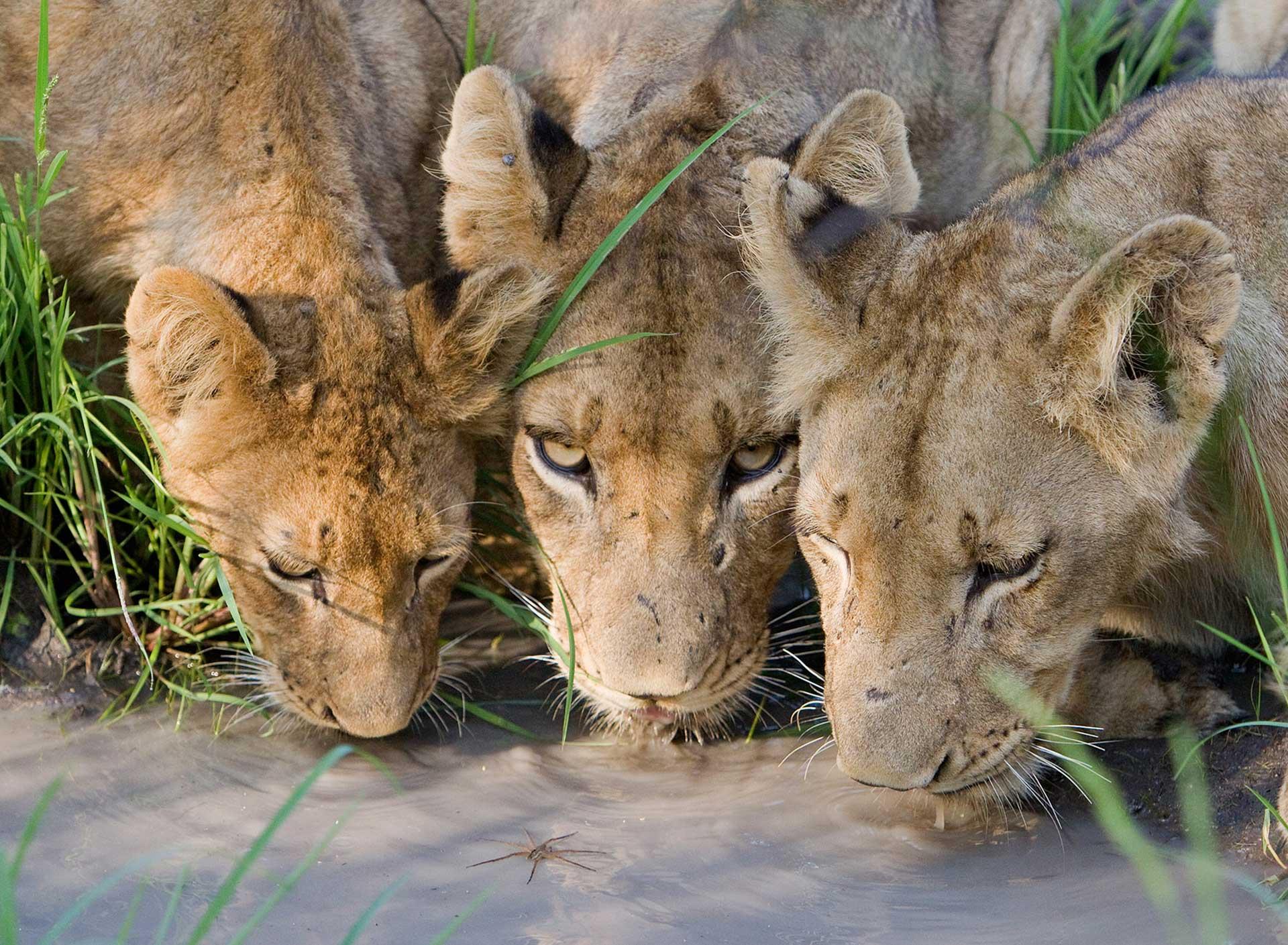 leon-sabi-sabi-sabi-sands-sudafrica-lion-big 5-enkosi-africa-safari
