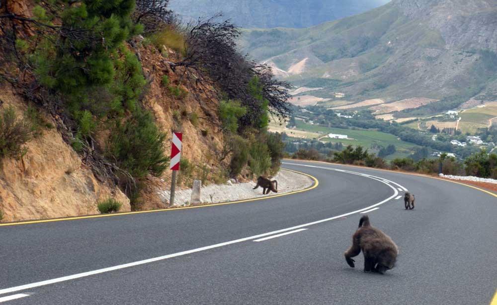 mandril-carretera-sudafrica