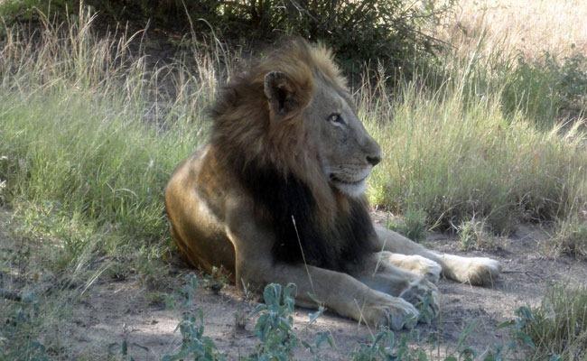 leon safari thornybush enkosi africa sudafrica