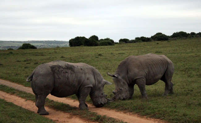 Lucha territorial entre rinocerontes blancos en la reserva de Shamwari sudafrica enkosi africa