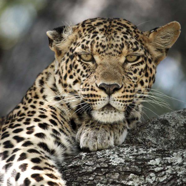 Los Big 5: Los Reyes de la Fauna Africana