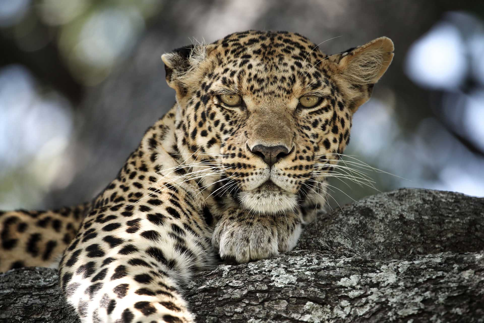 wilderness-mombo-camp-leopardo-botswana-okavango-delta-big 5-enkosi-africa-safari