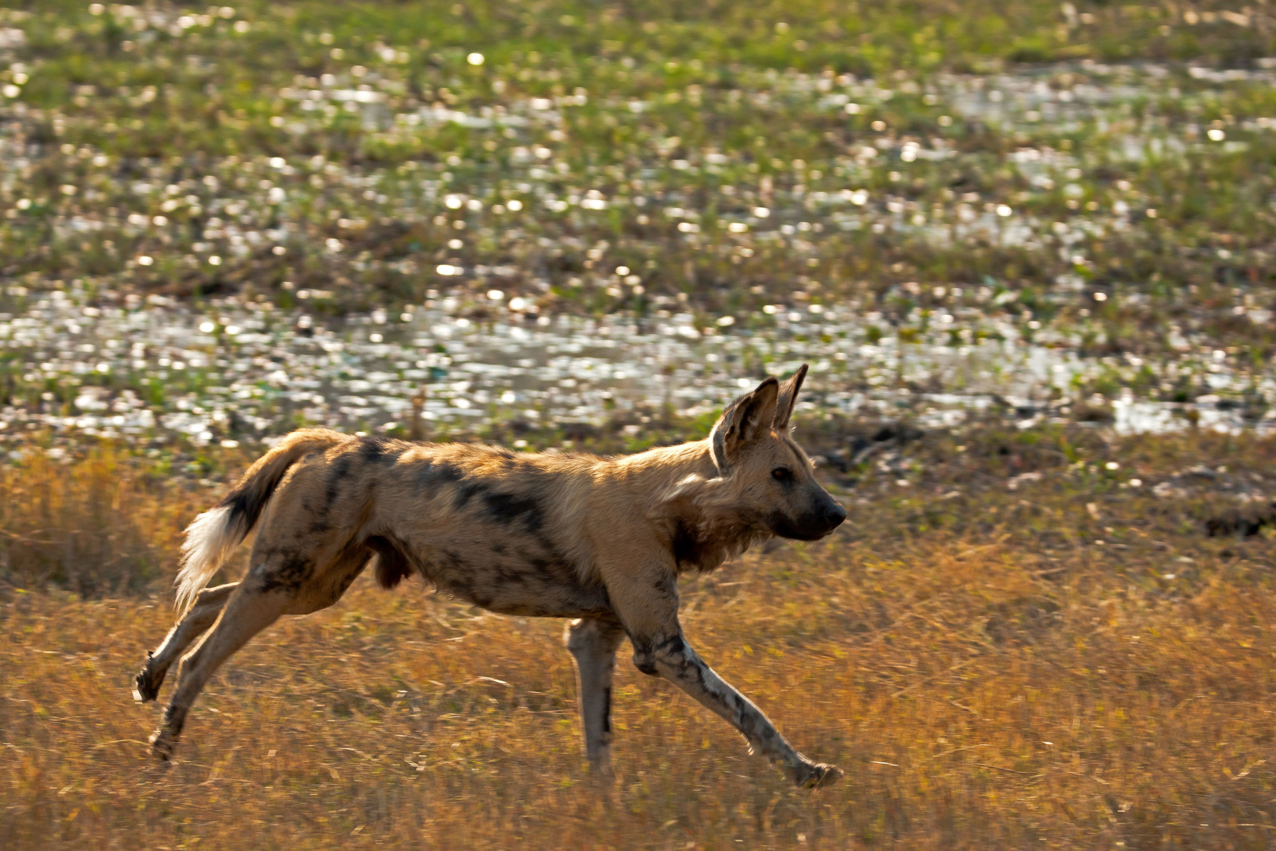 great plains conservation selinda adventure trail enkosi africa botswana spillway wild dog