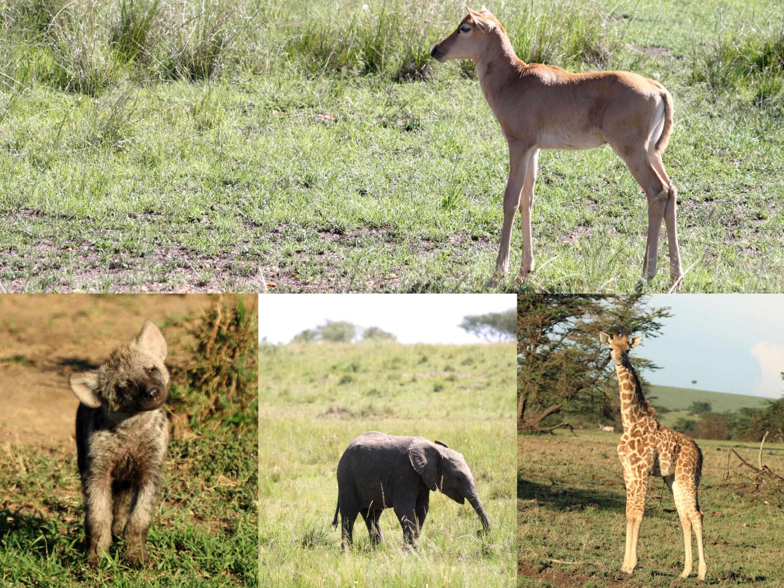 safari estación lluvias enkosi africa masai mara kenya baby elephant hyena giraffe hartebeest