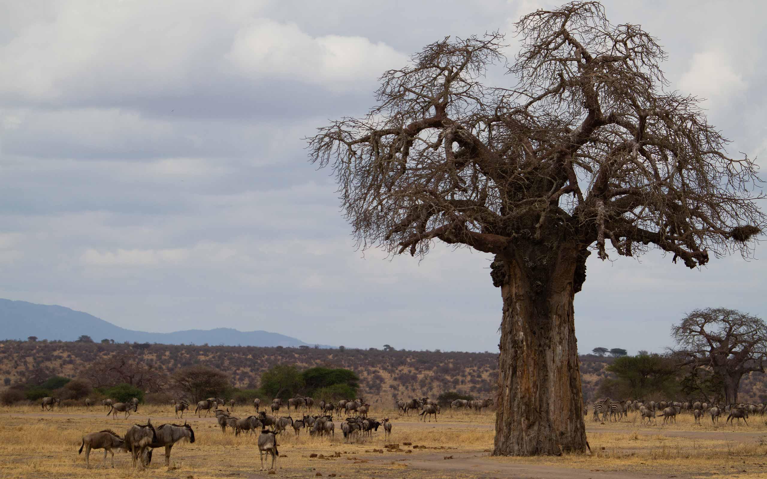 enkosi-africa-safari-tanzania-tarangire-little-chem-chem-baobab