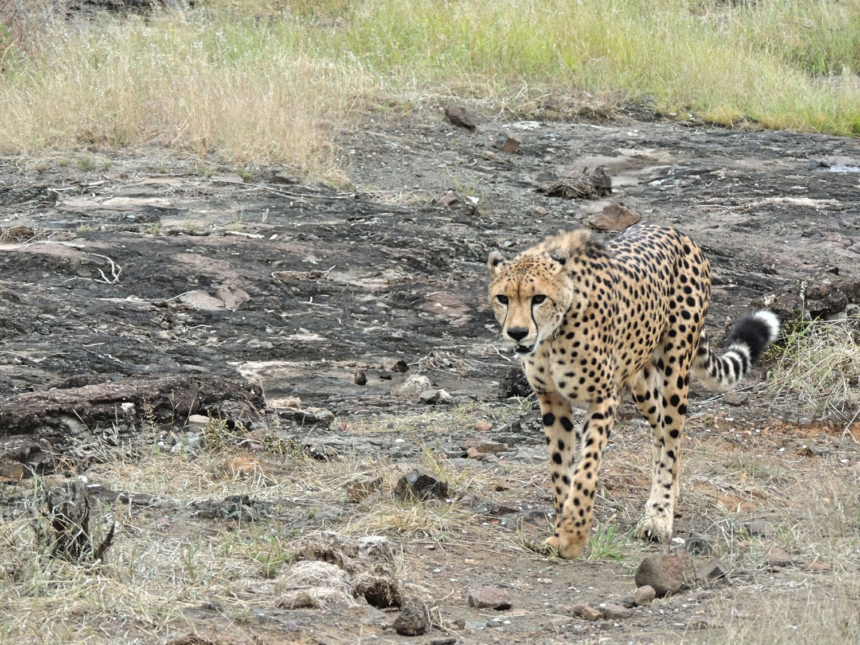 The Elephant Camp Victoria Falls Zimbabwe guepardo (3)