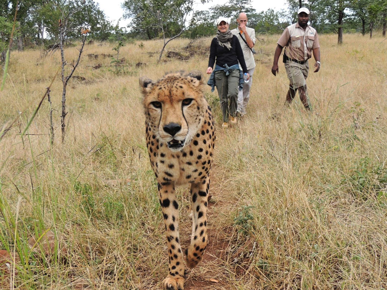 The Elephant Camp Victoria Falls Zimbabwe guepardo (4)