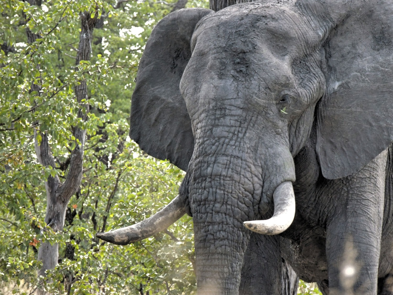 elefante closeup enkosi africa