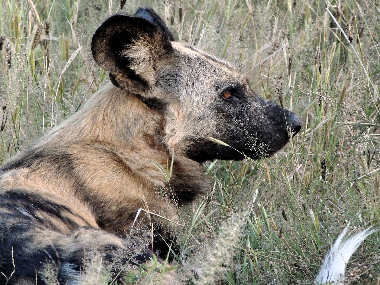 perro salvaje licaon wild dog savute botswana enkosi africa