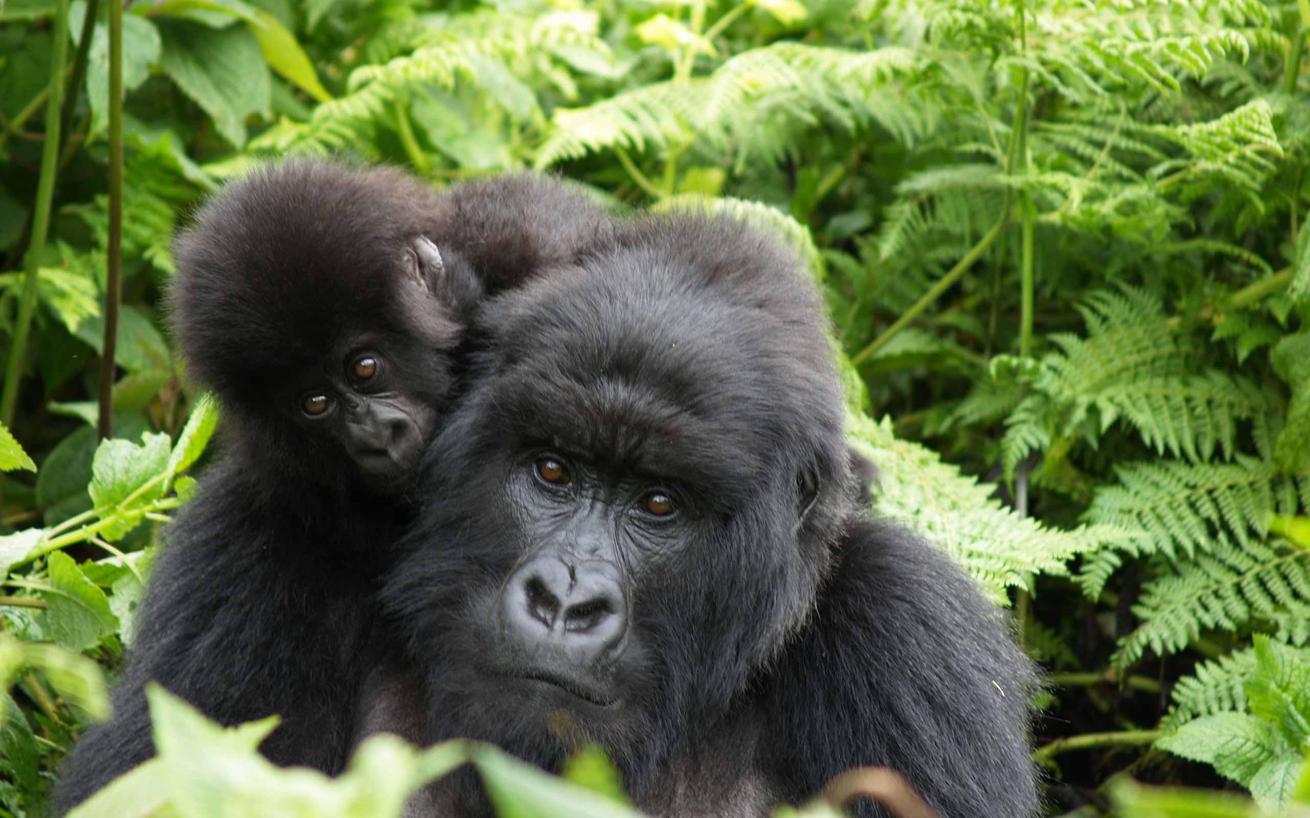 enkosi-africa-safari-rwanda-Singita-Kwitonda-Lodge-gorila-volcans