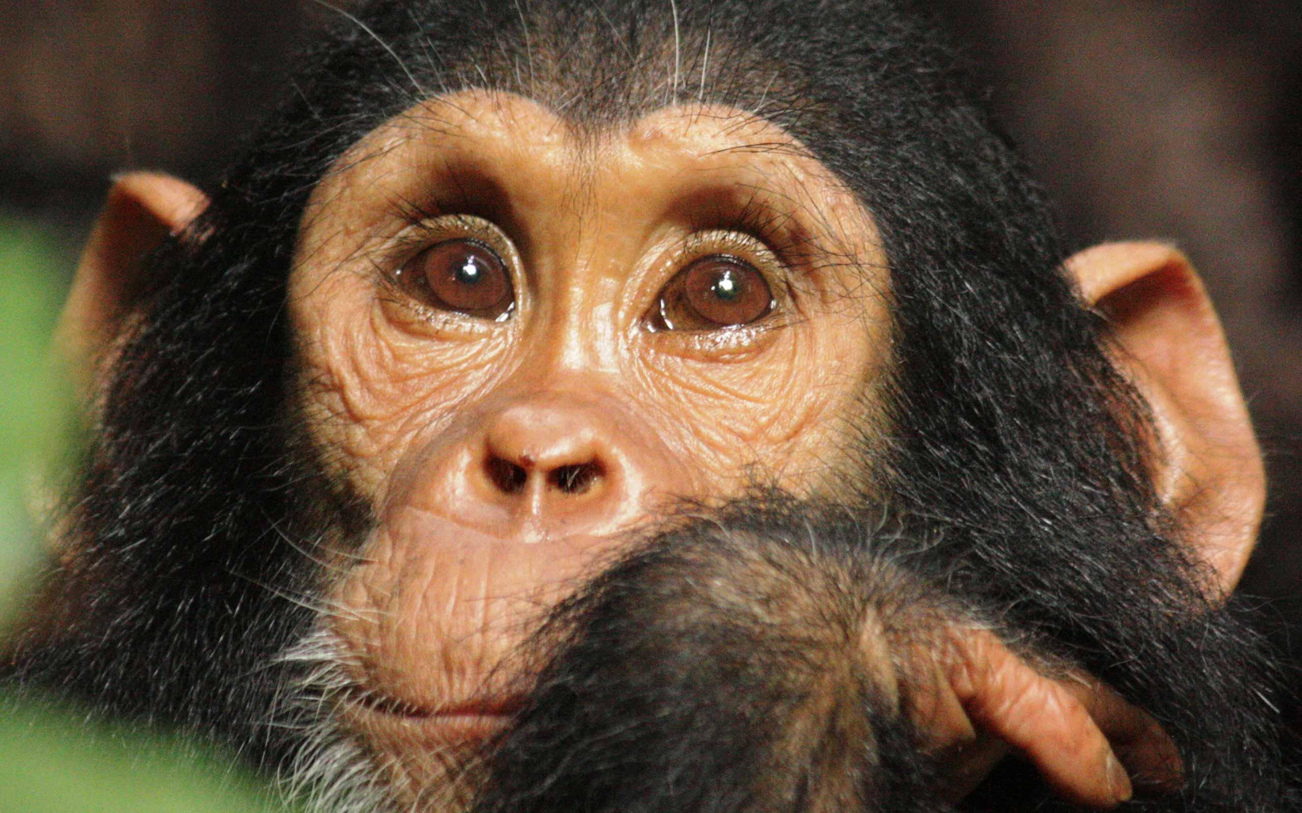 enkosi-africa-safari-tanzania-mahale-greystoke-chimp