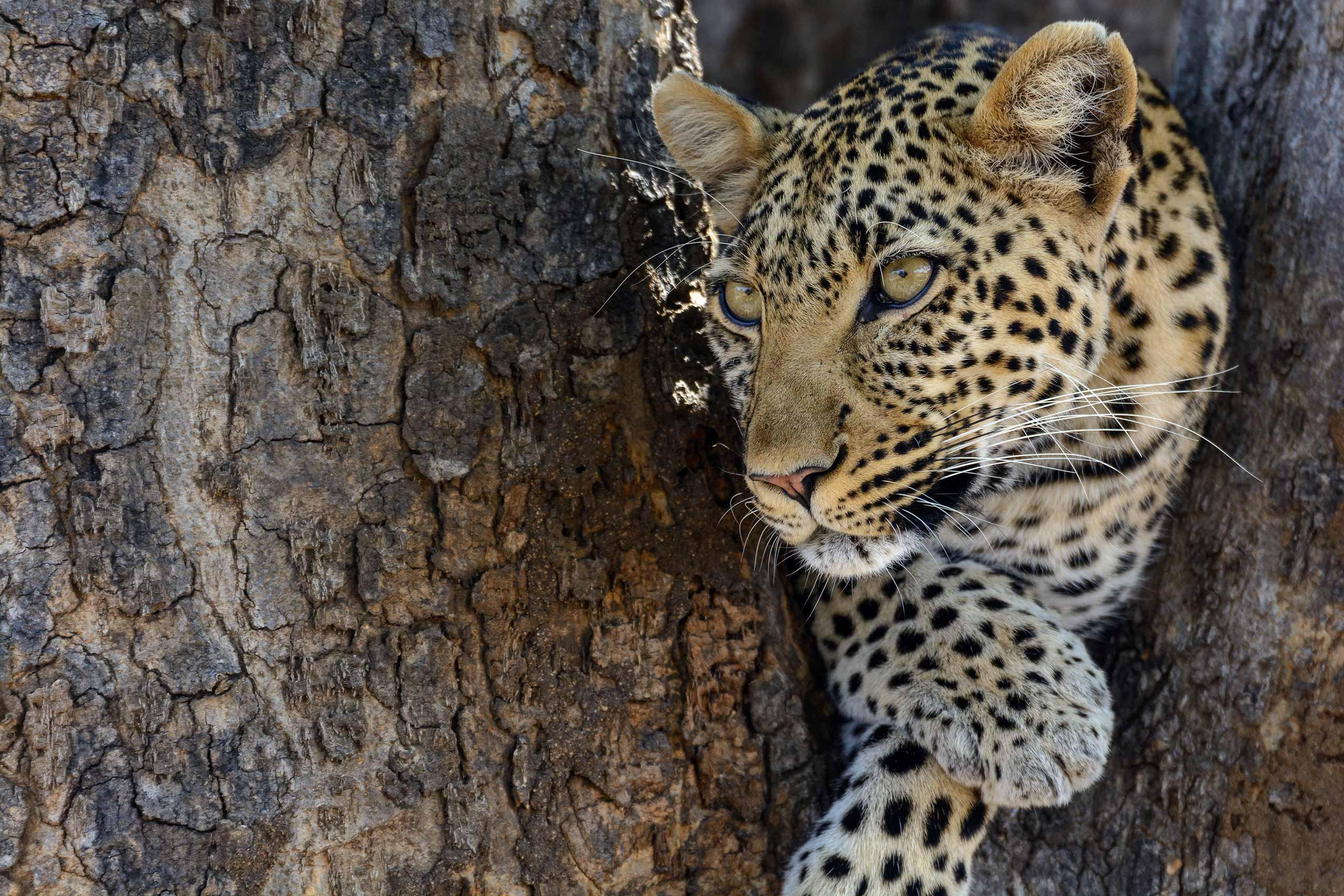 enkosi-africa-safari-tanzania-ruaha-jabali-ridge-asilia-leopard