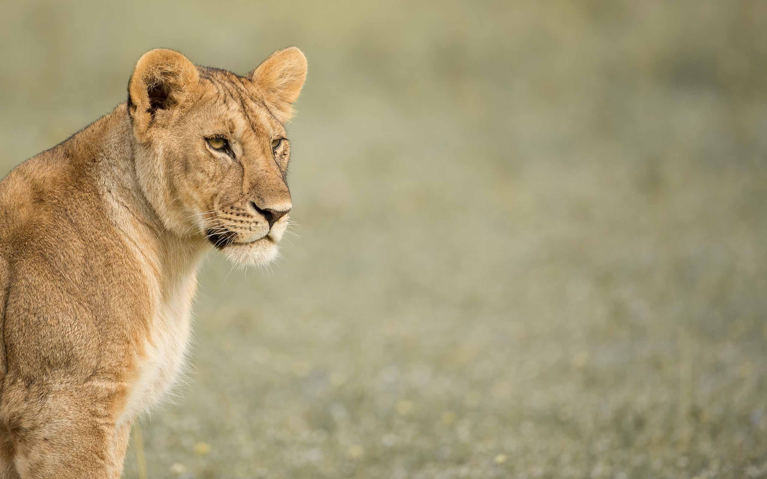 enkosi-africa-safari-tanzania-serengeti-grumeti-singita-fau-faru-lioness