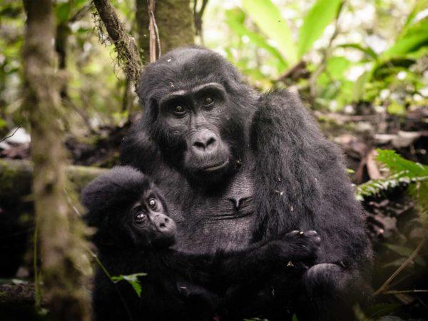 Gorilas y Chimpancés