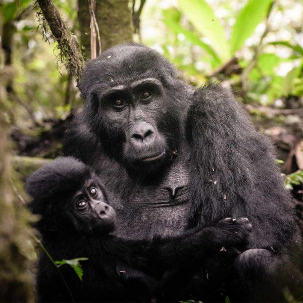 Uganda Aumenta el Precio de los Permisos de Rastreo de Gorilas
