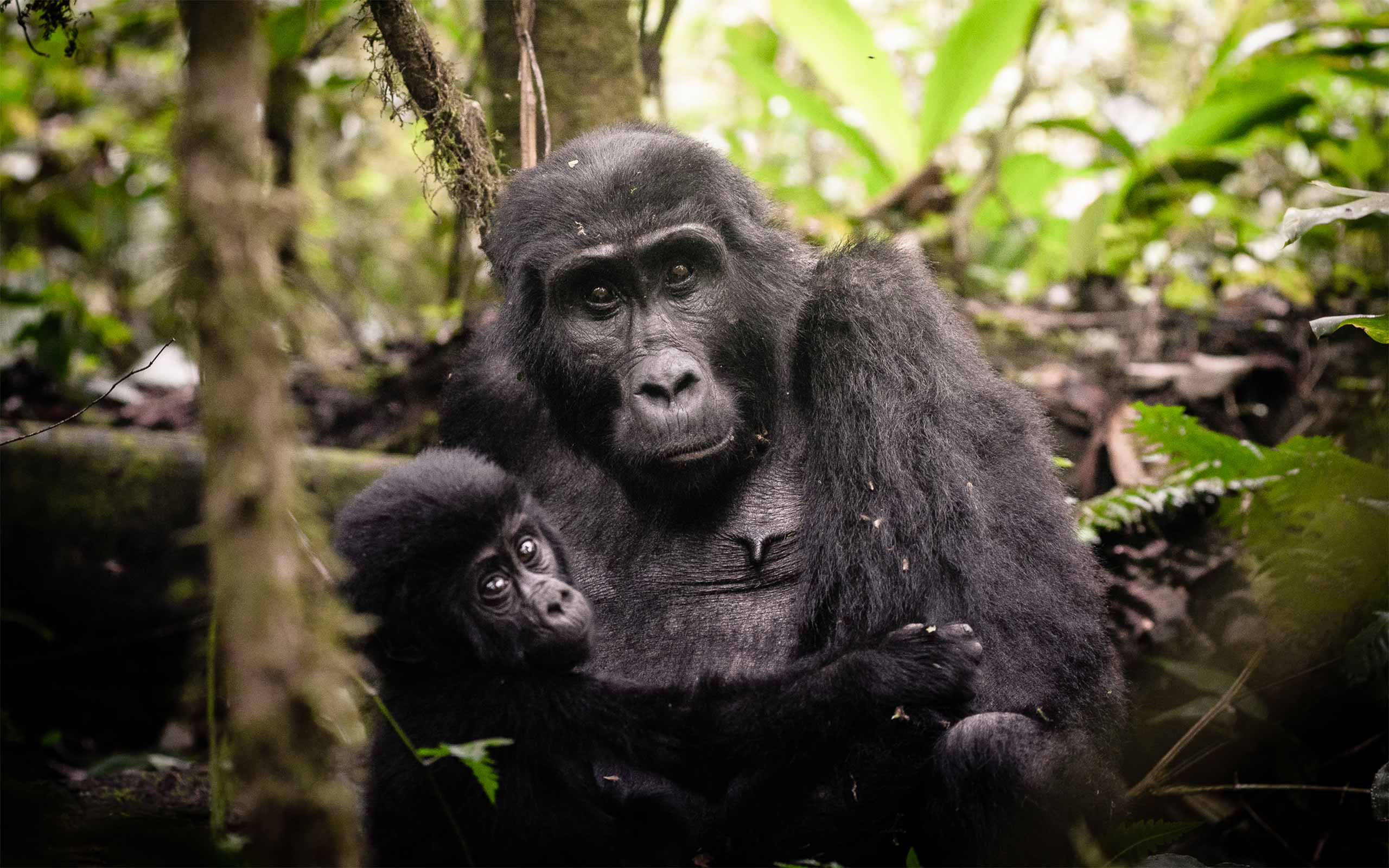 enkosi-africa-safari-uganda-bwindi-impenetrable-gorilla-forest-camp-sanctuary-