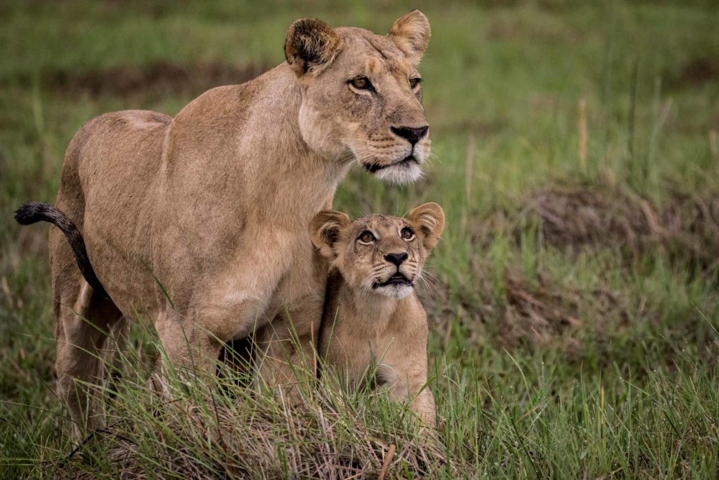 enkosi-africa-safari-botswana-okavango-delta-moremi-mombo-camp-wilderness-wildlife-lioness-cub