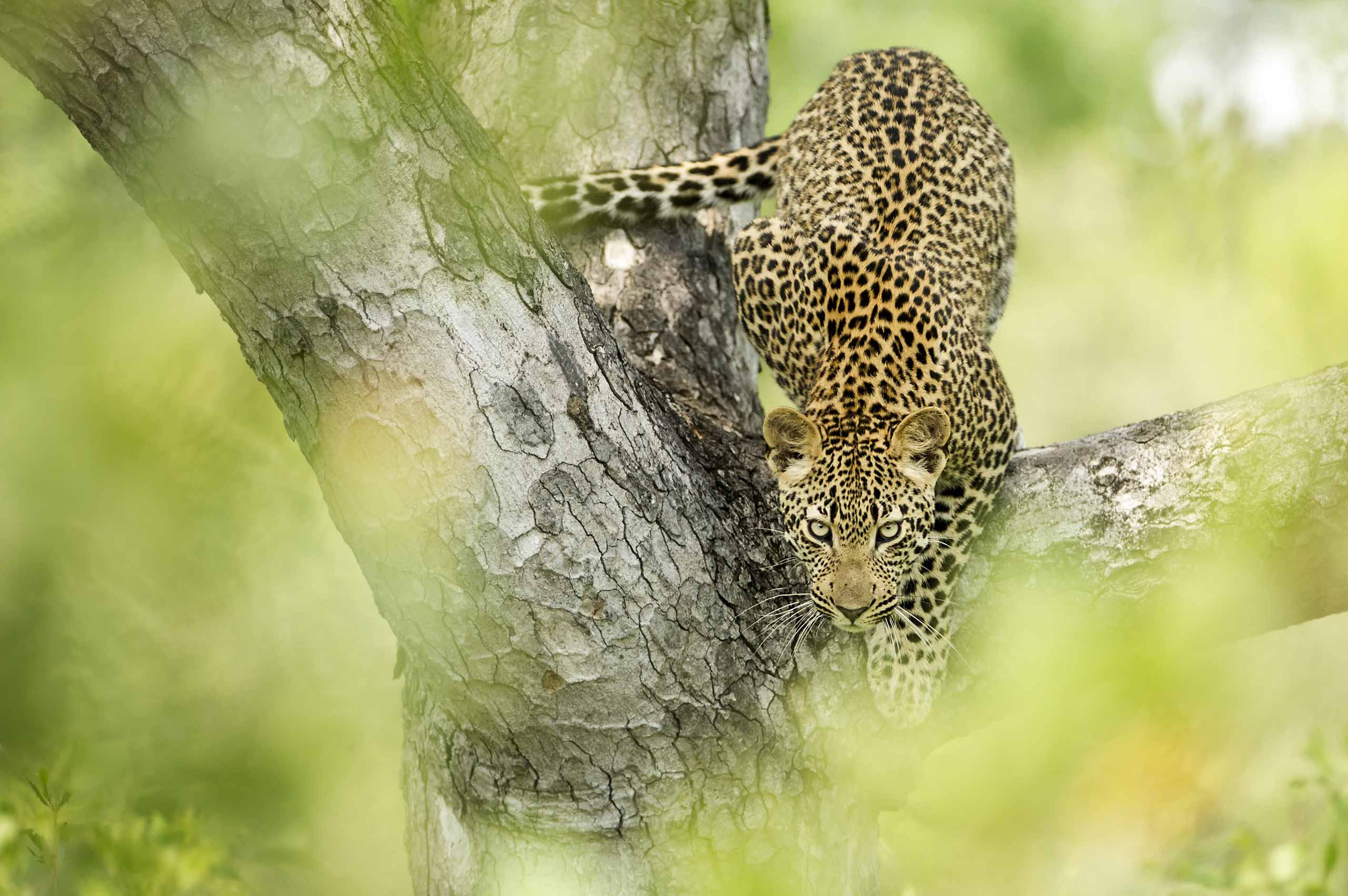 enkosi-africa-safari-sudafrica-sabi-sand-Singita-Boulders-Lodge-Wildlife-leopard-