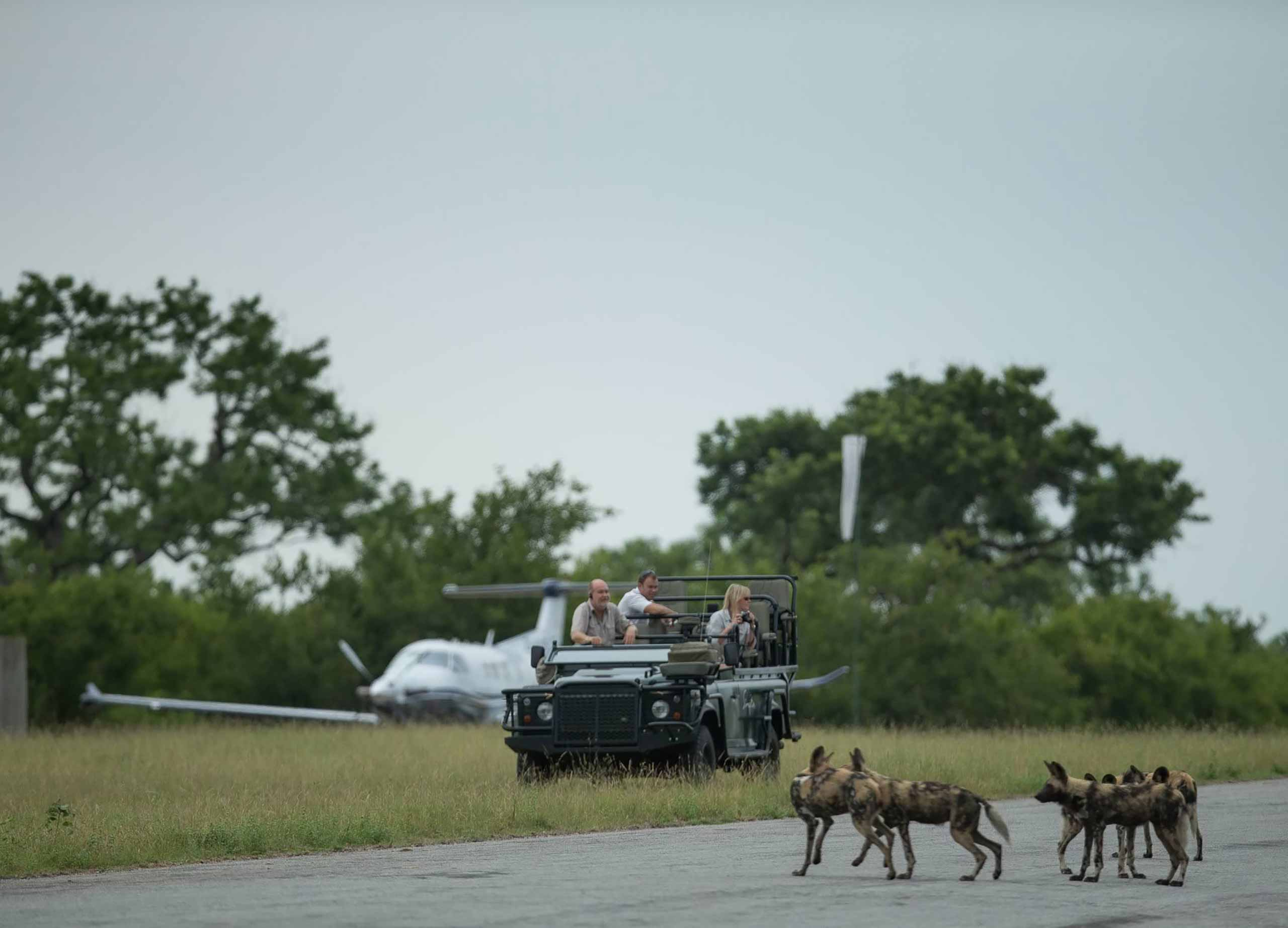enkosi-africa-safari-sudafrica-sabi-sand-Singita-Ebony-Lodge-Game-Drive-wild-dogs
