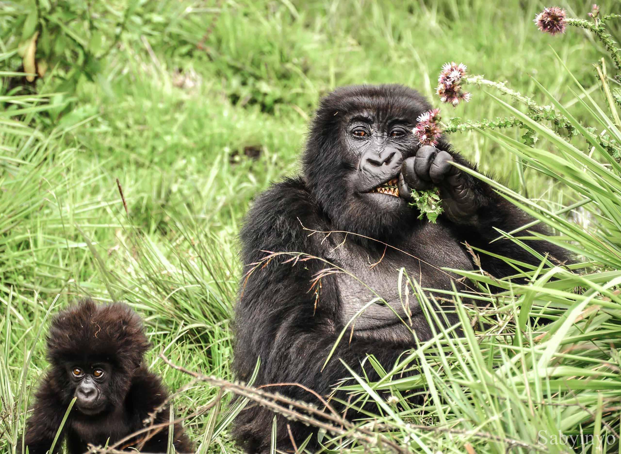 enkosi-africa-safari-rwanda-Sabyinyo-Silverback-Lodge-volcans-gorillas_eating_thistles_-_alisa_bowen_