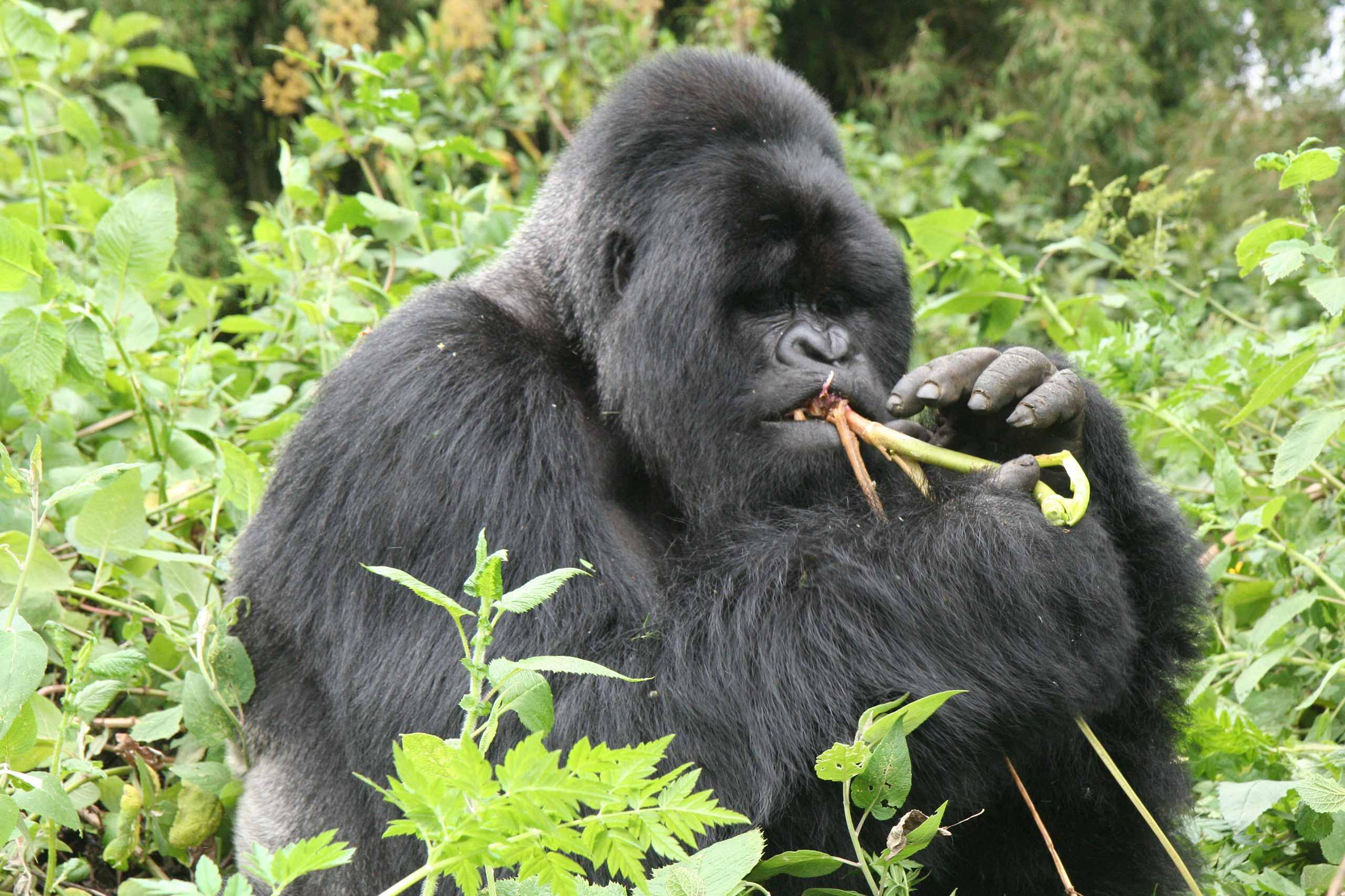 enkosi-africa-safari-rwanda-volcans-virunga-lodge-gorilla