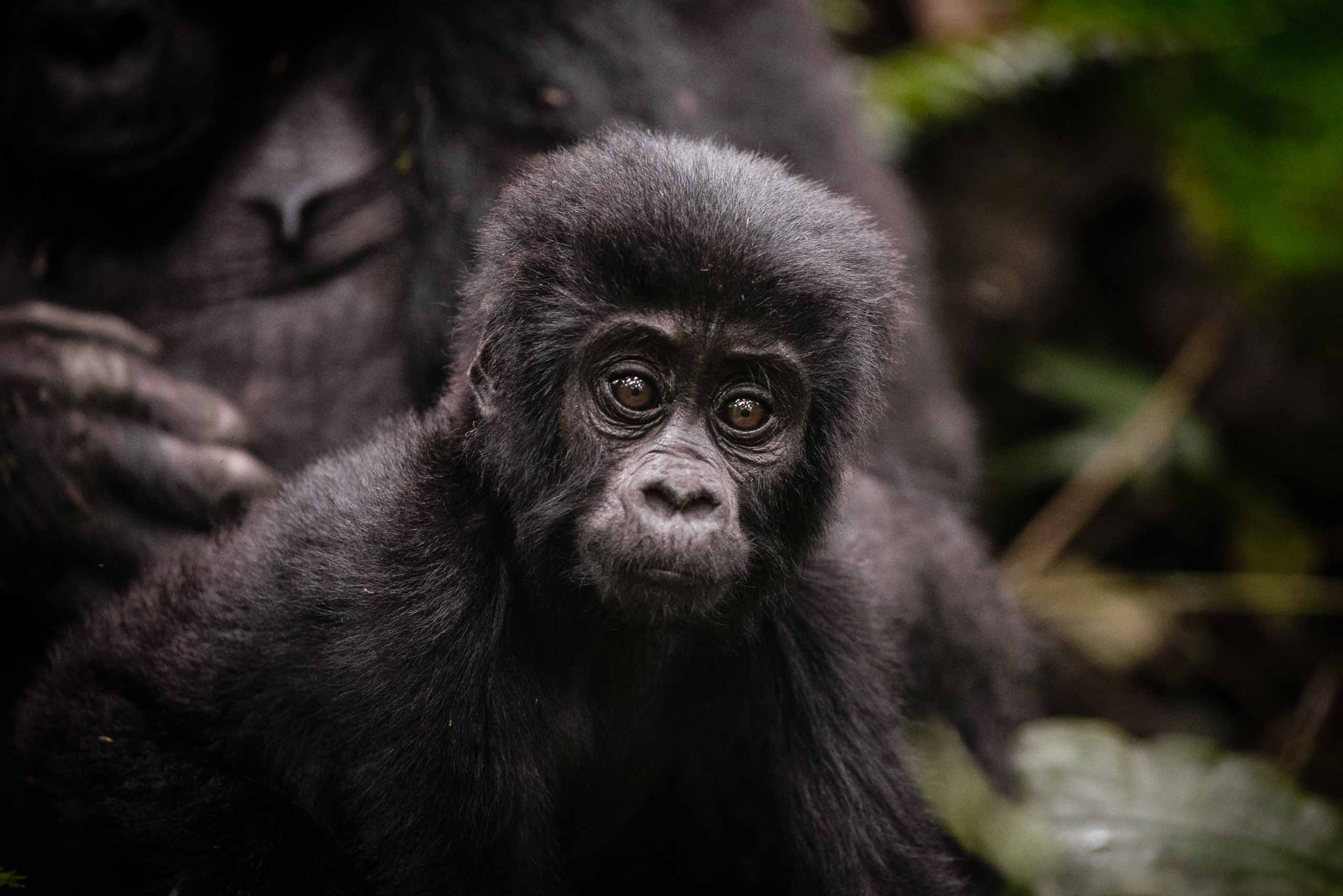enkosi-africa-safari-uganda-bwindi-impenetrable-gorilla-forest-camp-sanctuary-baby-gorilla