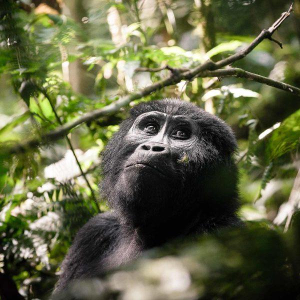 Uganda Reduce las Tasas de Parques Nacionales y Permisos de Rastreo de Gorilas